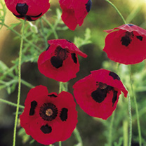 A distinctive low-growing poppy with vibrant 'fire-engine red flowers marked with a conspicuous black spot on each petal. Ideal as a rock garden or al