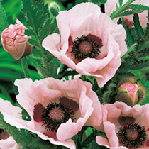 Produces many vivid coral pink blooms (a colour never seen before in oriental poppies) over a long period, and is not prone to 'flopping over'. Flower