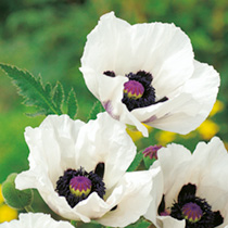 Poppy oriental Plant - Royal Wedding