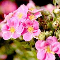 Image of Potentilla f. Plant - Pink Paradise