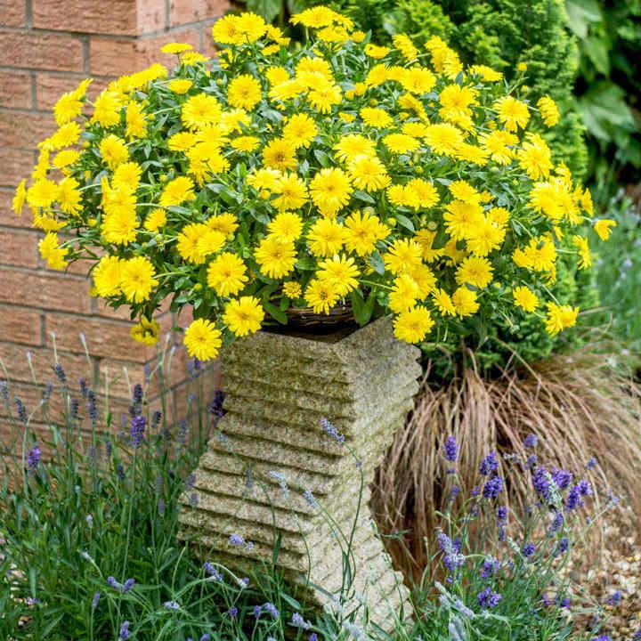 Calendula Plants - Power Daisy