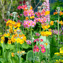 Fascinating, strong growing plants that form a crinkle leaved foliage base with long stems of colourful bloom arranged in 'tiers on the stems. Spectac