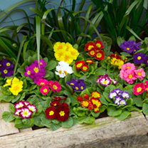 Spring Flowering Plants - Primrose Mix