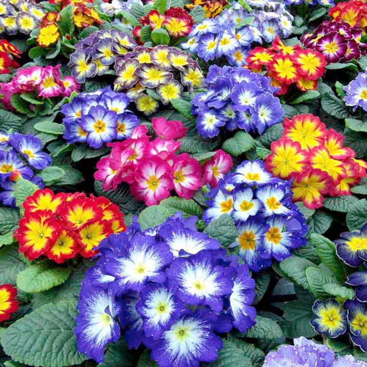 Primrose Plants - Starflame Mix