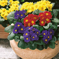 Primula Plants/Tulip Bulbs - Twin Pack