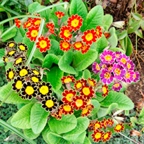Primula Plants - Victorian Laced Mix