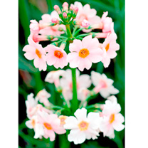 Primula japonica Plant - Apple Blossom