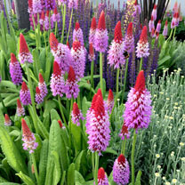 Primula vialii Plant - Red Hot Poker