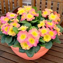 Primrose Plants - Chameleon