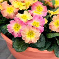 Primula Plants - Chameleon Mix