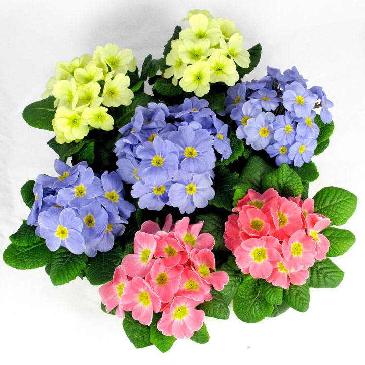 Primula Plants - Candy Mix