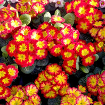 Primrose Plants - Rambo Red Flame