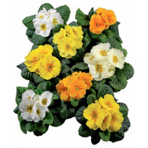 Primula Plants - Daffodil Mix