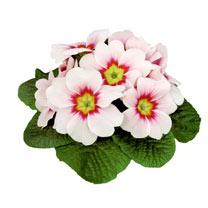 Primula Plants - Rambo Appleblossom