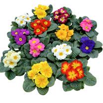 Primula Plants - Primus Mix