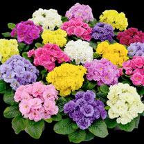 Primula Plants - Rubens
