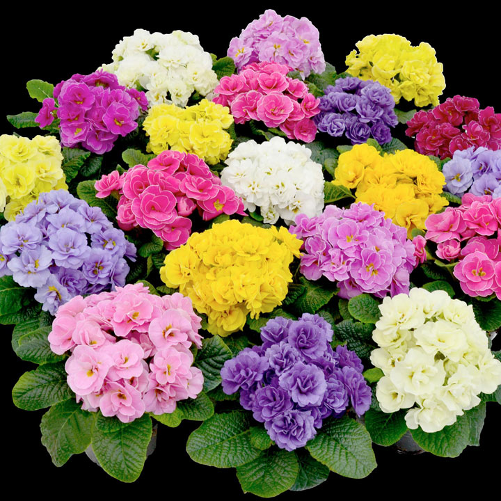 Primula Plants - Rubens Mix