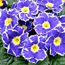 Primula Plants - Sparkly Blue