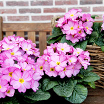 Primula Plants - Woodland Rose