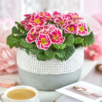Primula Plants - Sweetie