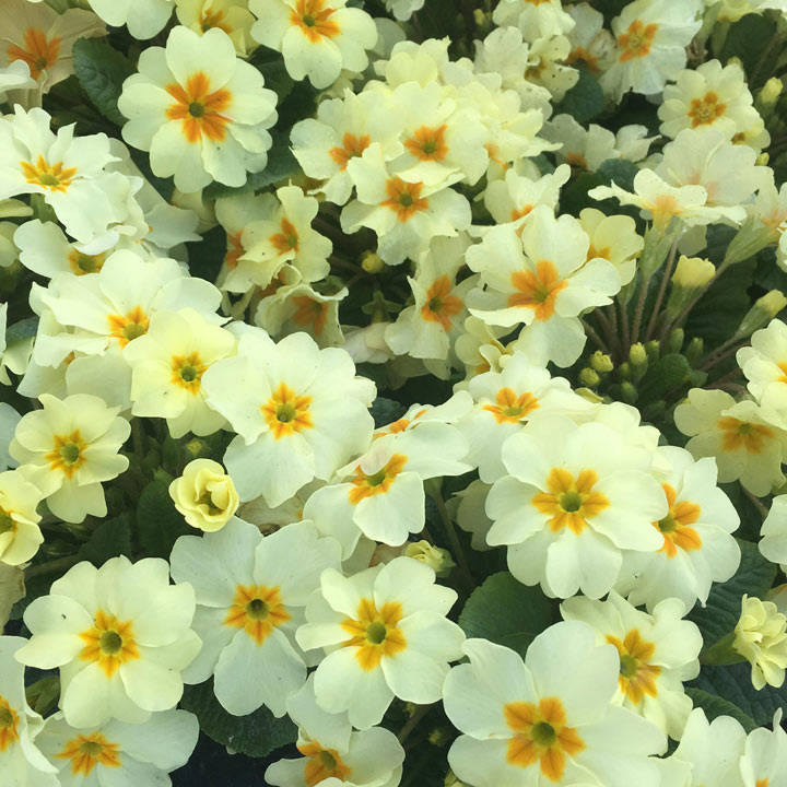 Primula Plants - Everlast