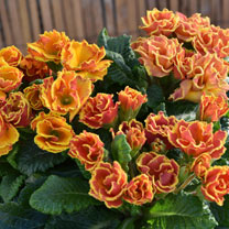 Primula Plants - Lucky Dip