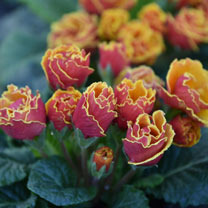 Primula Plants - Scented Sunbursts