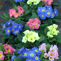 Primula Plants - Lucky Dip