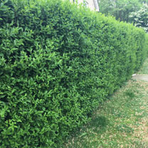 Ligustrum Vulgare (Privet) Plants - 2L Value Hedging Range