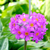 Primula beesiana plants