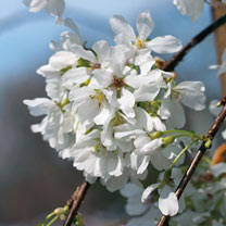 Flowering Cherry Snow Showers