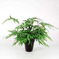 Pteris albolineata Plant