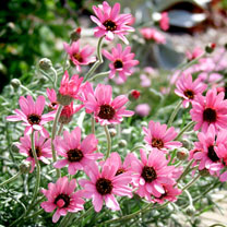 Rodanthemum Plant - Pretty in Pink