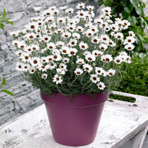 Rhodanthemum Plants - Casablanca