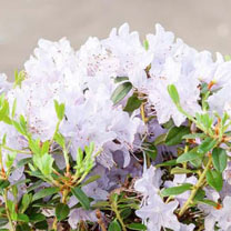 Rhododendron Plant (Dwarf) - Blue Tit