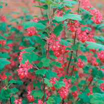 Early spring flowering, medium sized deciduous shrub. Produces many pendulous clusters of pink red flowers highlighted by the lime green foliage. A gr
