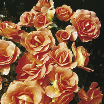 Rose Plant - Betty Harkness