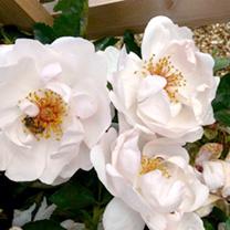Rose Plant - Jacqueline du Pre