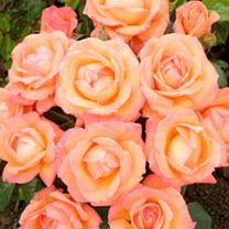 Image of Rose Plant - Lady Marmalade