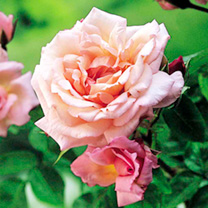 Image of Rose Plant - Compassion
