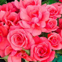 Rose Plant - Rosy Future