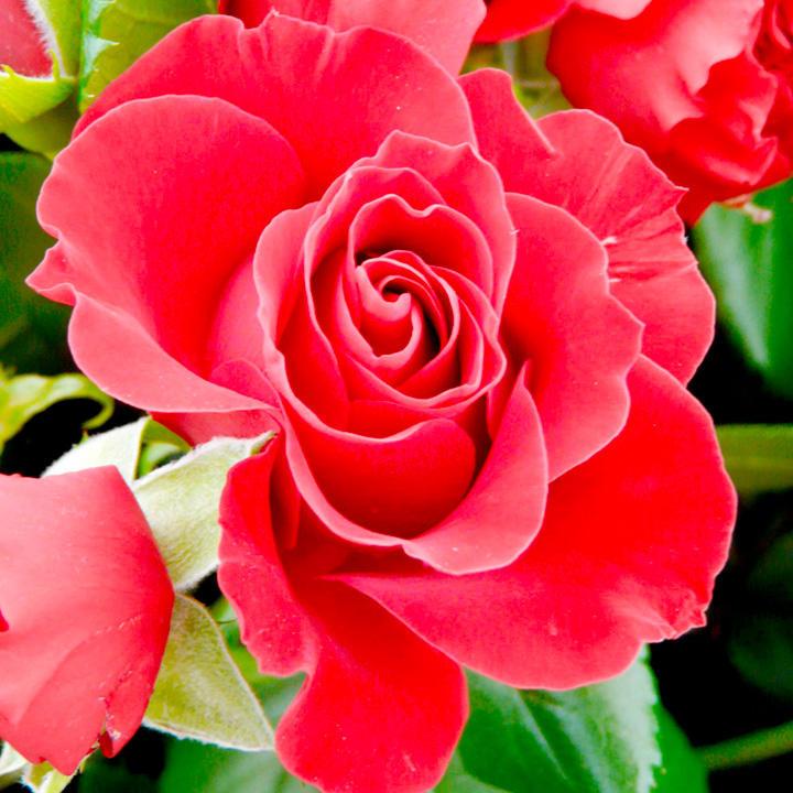 Roses In Garden: Harkness Roses