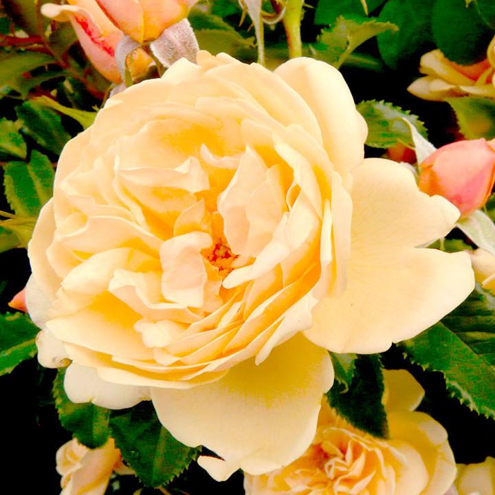Rose Plant - Susie