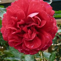 Rose Plant - Fetzer Syrah