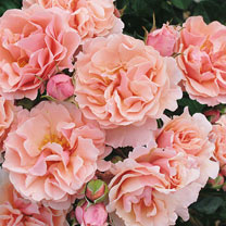 Rose Plant - Twiggy's Rose