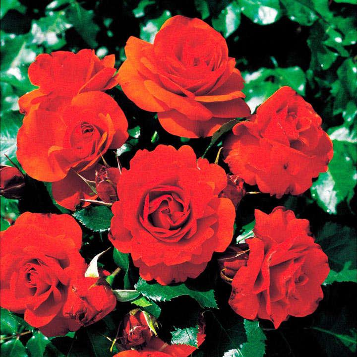 Rose Plant - Remembrance
