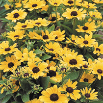 Rudbeckia Seeds - Toto Lemon