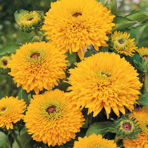 The compact habit of Maya adds a new and interesting form to the wide assortment of rudbeckias. Fully double flowers abound on this durable summer gar