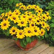 Compact, well-branched plants are smothered in golden daisy-like blooms, each with a deep chocolate central cone. This cheery dwarf coneflower is earl