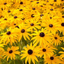 Rudbeckia Seeds - Goldsturm (Storm of Gold)